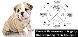 VS-Heartworms-Life-Cycle