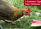 VS-Chickens-Stay-Cool
