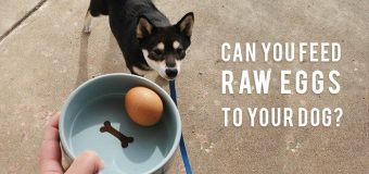 Can You Feed Raw Eggs To Your Dog?