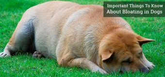 Important Things to Know About Bloating in Dogs