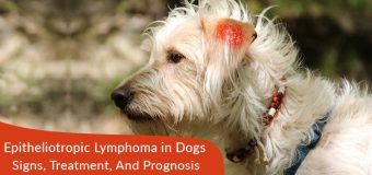 Skin Cancer (Epitheliotropic Lymphoma) in Dogs – Signs, Treatment, And Prognosis