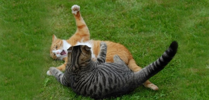 Tips For Cat Fights
