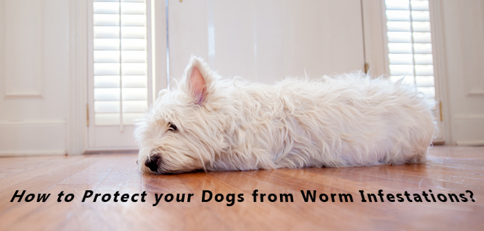Worm Infestations in Dogs